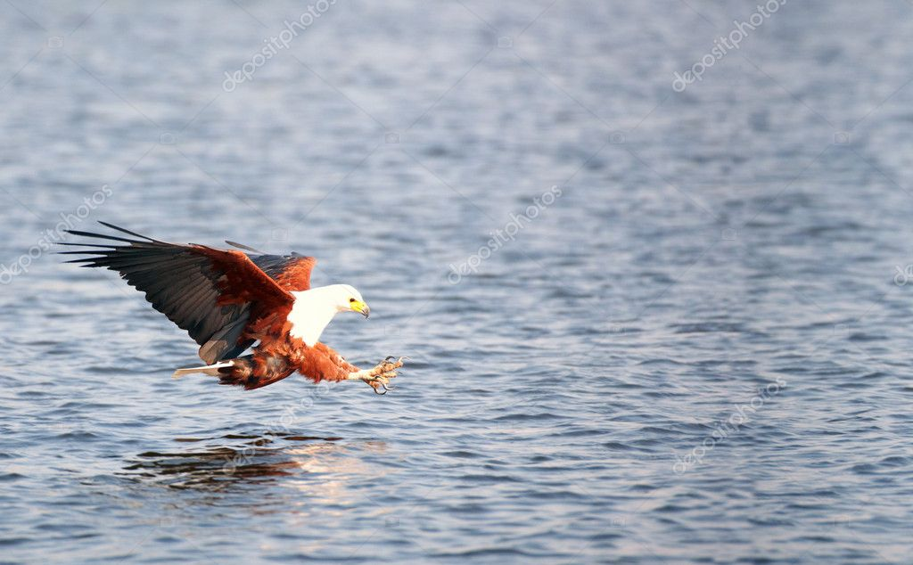 African Fish Eagle (Haliaeetus vocifer) in flight in Botswana — Stock Photo #6951523