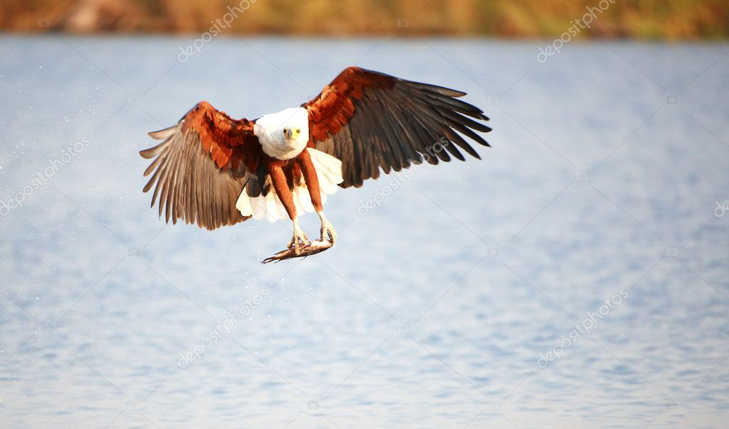 African Fish Eagle (Haliaeetus vocifer) in flight with fish in his claws in Botswana  Stock Photo #6951527