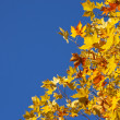 Autumn Sycamore Leaves — Stock Photo #6968352