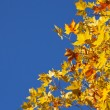 Autumn Sycamore Leaves — Stock Photo