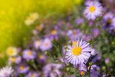 Lilac daisies — Stock Photo