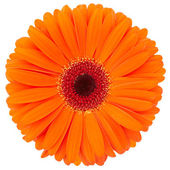 Orange flower isolated — Stock Photo