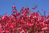 Burning Bush — Stock Photo
