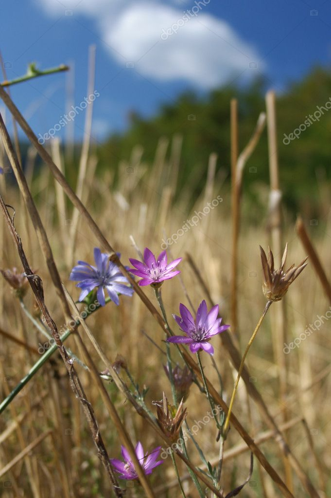 Purple flowers in a field with forest and  blue sky as background — Stock Photo #6863779