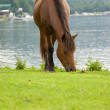 Stock Photo: Brown horse is grazing in a pasture.