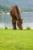Cavalo marrom está pastando em um pasto. — Foto Stock