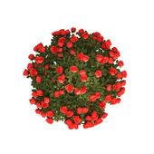 Planet-gillar bush röda rosor — Stockfoto