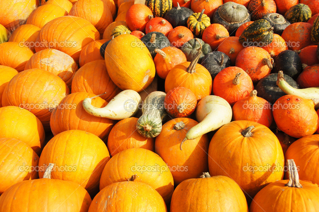 Fresh pumpkins for Halloween.  Stock Photo #6925626