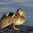 Just a duck - Nur eine Ente — Stock Photo