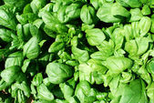 Fresh spinach in a field — Stock Photo