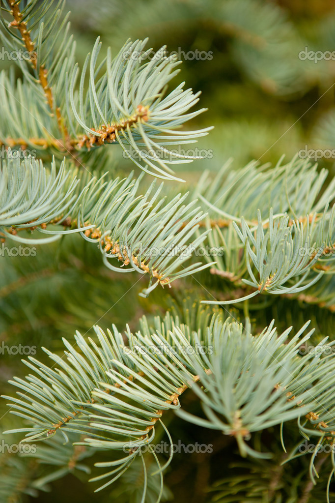 Beautiful branch of blue fir-tree as abstract christmas background — Stok fotoğraf #7542915