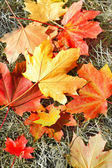 Autumn leaves on the dry grass — Stock Photo