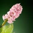 Pink flower hyacinth in wrapping - Lizenzfreies Foto
