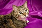 А cat on violet background — Stock Photo