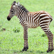 Baby Zebra against green grass background — Stock Photo