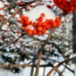 Stock Photo: Winter berry rowan