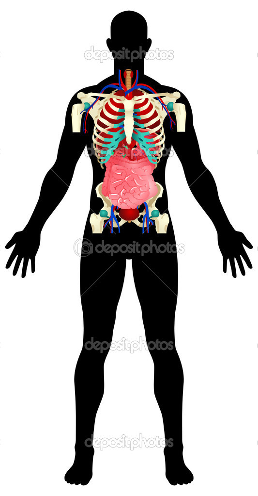 Vector illustration of a male figure with the internal organs   Stock Vector #6852444