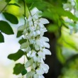 Acacia white flowers - Foto Stock