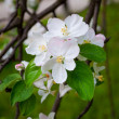 Foto Stock: Apple tree blossom