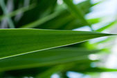 Agave green leaf — Foto Stock