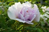 Fleur de pivoine jardin — Photo