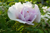 Flor de jardim peônia — Foto Stock
