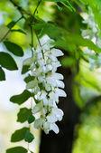 ακακια λευκό — Φωτογραφία Αρχείου