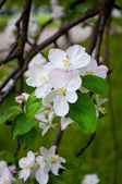 Apple tree blossom — Stock fotografie