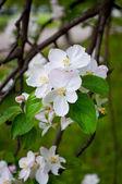 Fleur du pommier arbre — Photo