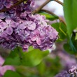 Foto Stock: Lilac flowers and leaves