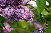 Eflatun çiçekler ve yapraklar — Stok fotoğraf
