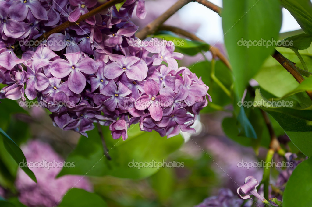 Purple lilac flowers. Saturated macro. — Stock Photo #7215787