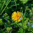 Dandelion on the glade - Stockfoto