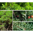Fir & juniper trees collage - ストック写真