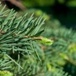 Fir tree branch - Foto Stock