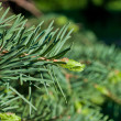 Fir tree branch - Stockfoto