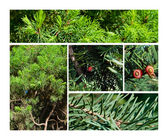 Fir & juniper trees collage — Stock fotografie
