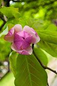 Half geopende magnolia bud — Stockfoto