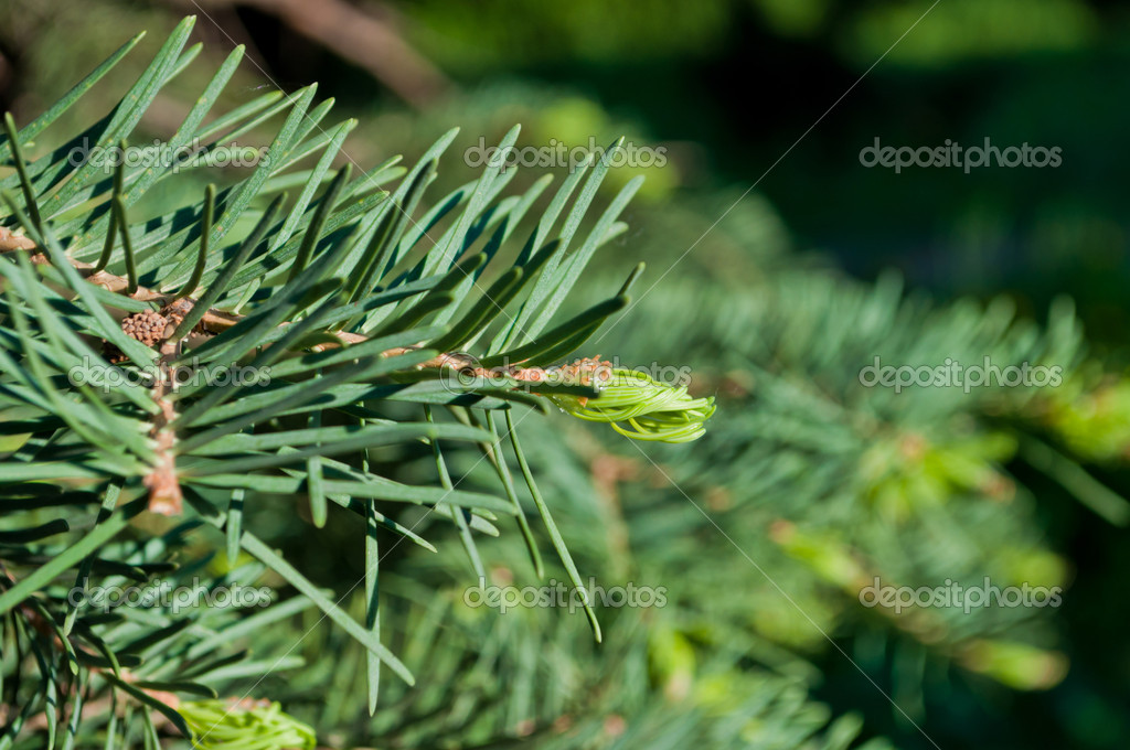 Macro background of the fir tree branch with a new green shoot.  Stock Photo #7310071