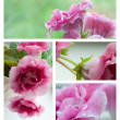 Pink gloxinia flowers collage - Stock fotografie
