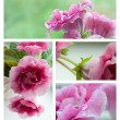 Pink gloxinia flowers collage - Foto Stock