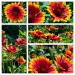 Gaillardia flowers collage - Stock fotografie