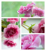 Pink gloxinia flowers collage — 图库照片