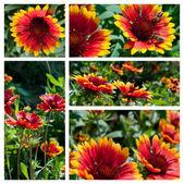 Colagem de flores gaillardia — Foto Stock