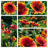 Gaillardia flowers collage — 图库照片