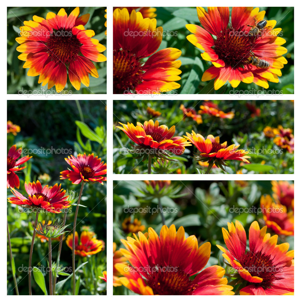 Five macro photos of the Gaillardia aristata Bijou flowers. — Stock Photo #7584698