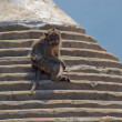 Macaque — Stockfoto #6853343