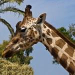 Постер, плакат: Head and neck of a giraffe