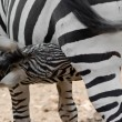 Zebra foal suckling — Stock Photo