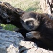 Gibbon — Stock Photo #6853601